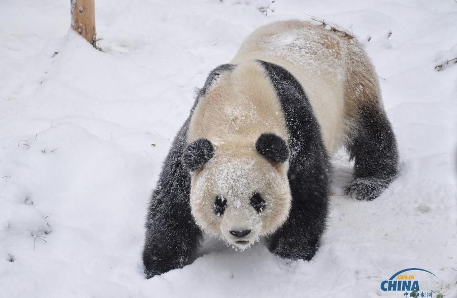 大熊猫在雪地里撒欢.(云南野生动物园 供图)