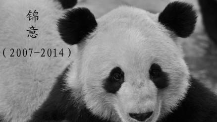 """郑州市动物园宣布""""失踪""""的大熊猫锦意"""