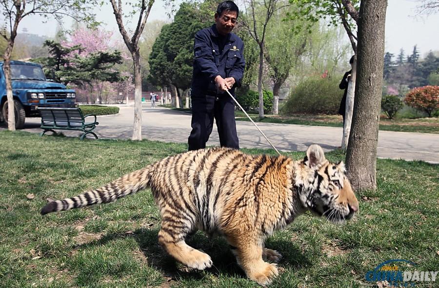 俄罗斯动物园老虎搭救饲养员游客扔桌椅袭击常青藤长了红蜘蛛图片