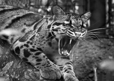 豹 豹子 壁纸 动物 虎 老虎 桌面 400_285