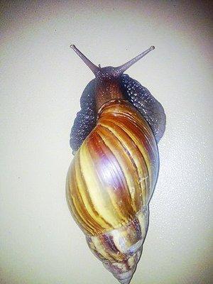 非洲大蜗牛半个外来大属物种入侵手掌(图)特点的海豚做文图片