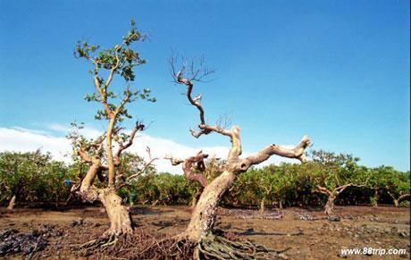 湛江红树林:中国最大的海岸红树林湿地