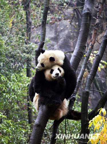 """刚刚落户广西桂林动物园的奥运大熊猫"""""""
