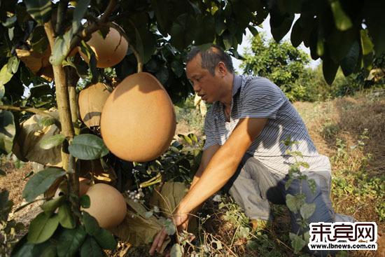 华南地区 广西 滚动新闻      象州县象州镇石贵村村民古昌民引进的