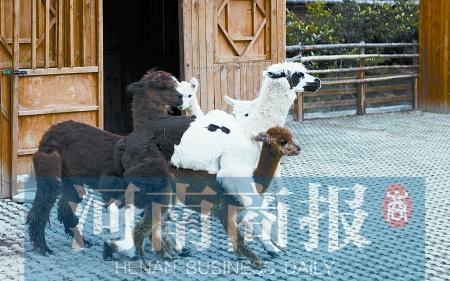 """郑州市动物园新来三只小羊驼传说中的""""草泥马"""""""