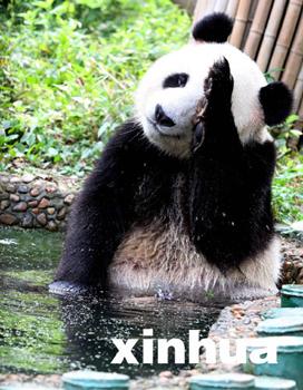 7月7日,武汉动物园一只大熊猫在水池泡澡纳凉.