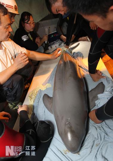 28日一只成年海豚在江苏海门东灶港附近海滩搁浅,身长1.