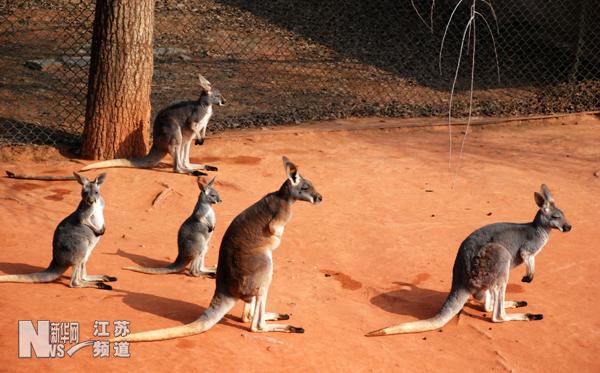 南京市红山森林动物园的澳洲袋鼠在享受午后阳光