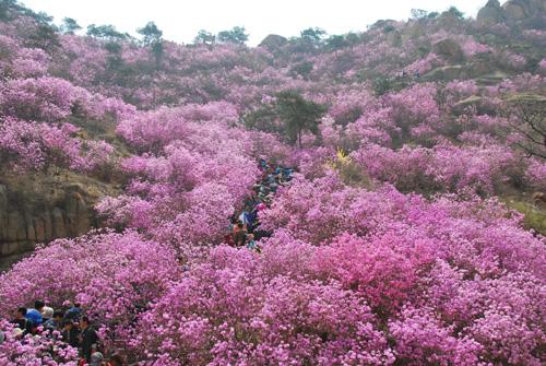 青岛大珠山山会_青岛大珠山万亩野生杜鹃花进入盛花期 - 中国在线
