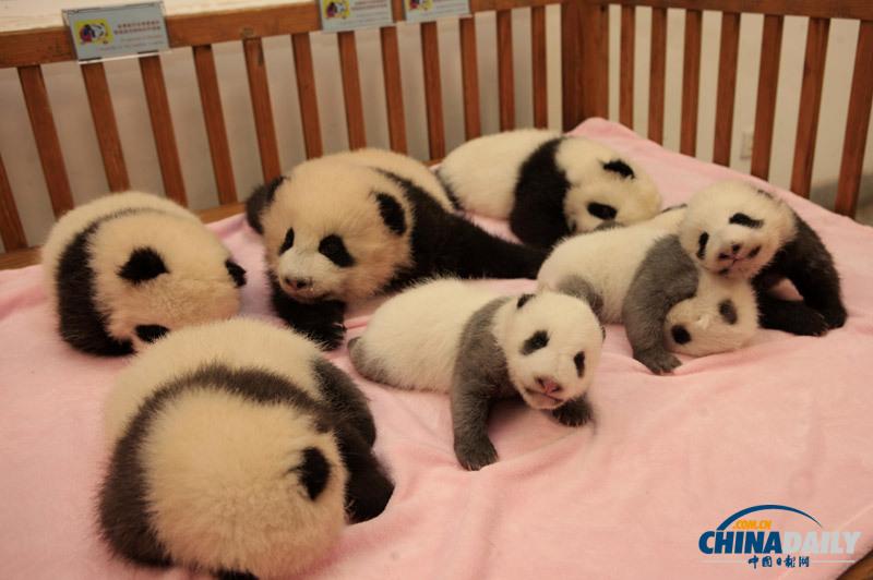 2012年成都新生熊猫宝宝集体亮相卖萌