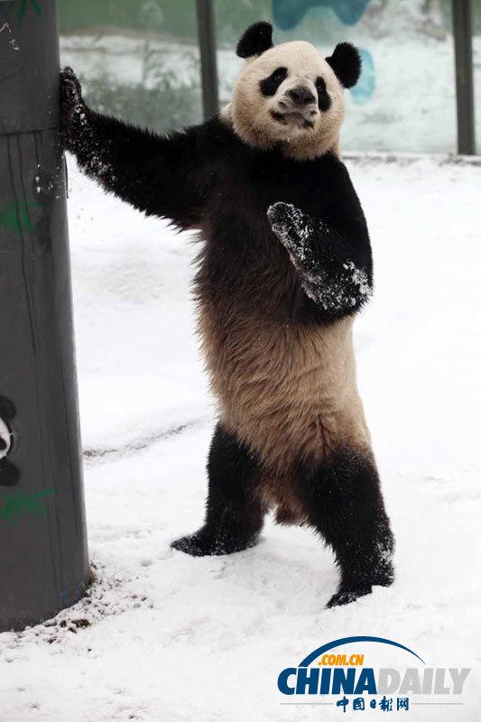 省珍稀野生动物抢救饲养研究中心的两只大熊猫秦川和乐乐在雪地里嬉戏