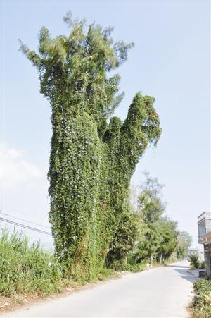 深圳遭超过百种外来植物入侵 看似天灾实为人祸[1]