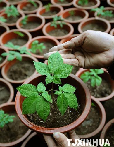 月8日,青水源种植基地种植的盆栽西洋参叶脉长势良好.(完)-天