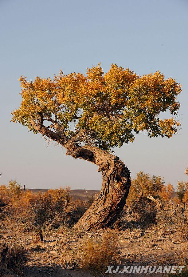 一棵胡杨树挺立在胡杨林中(10月6日摄).