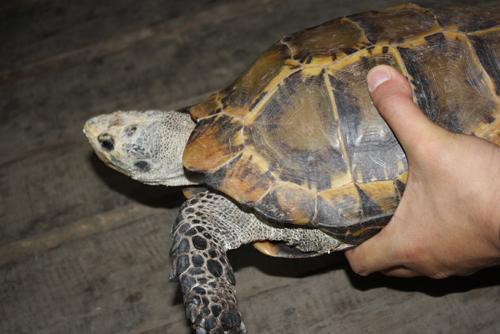 昔日宠物今成负担 凹甲陆龟迁居云南野生动物园