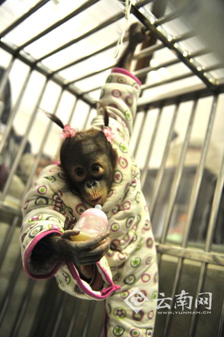 """猩猩喝奶测智力 云南野生动物园开展小动物""""体检总动员"""""""