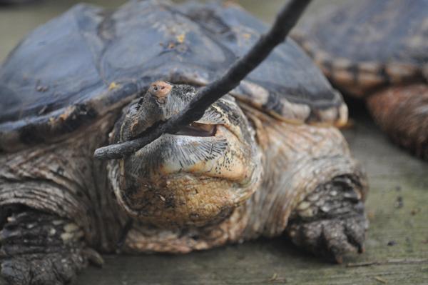 """连收7只""""生态杀手""""鳄龟 震惊云南野生动物园"""
