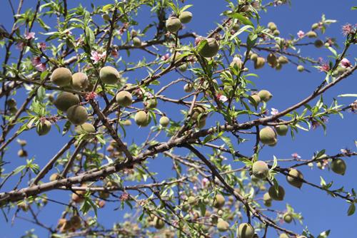 云南东川一桃树一年花开五次
