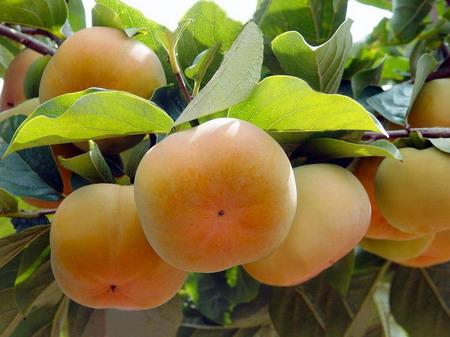 云南石林甜柿大量上市销售看好