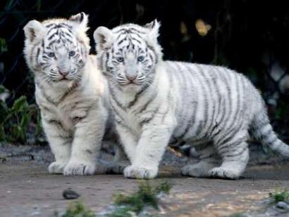 http://www.chinadaily.com.cn/en/doc/2003-12/09/xin_efe319da77fc4a1fbf9b9a41098d95e8_tiger.jpg