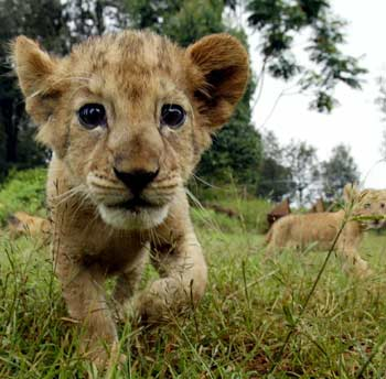 Kenya Plants And Animals kenya wants most-protected status for lions