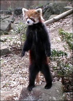 red pandas eating