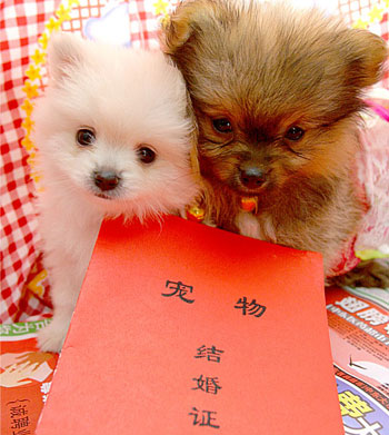 Pet dogs tie the knot in Changchun