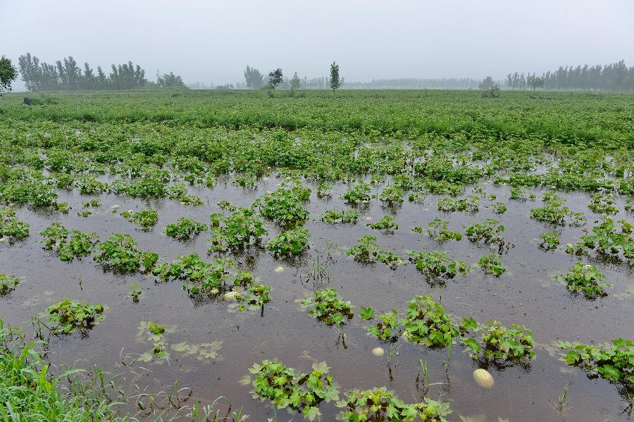 Watermelon plantation flooded after heavy rains in China's Hebei