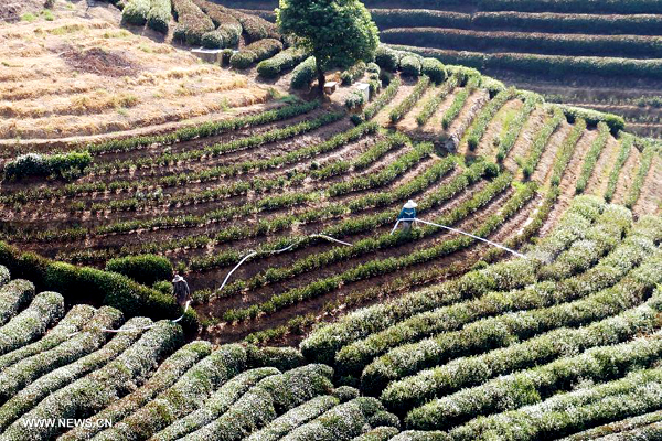 Tea farms wither amid heatwaves in E China
