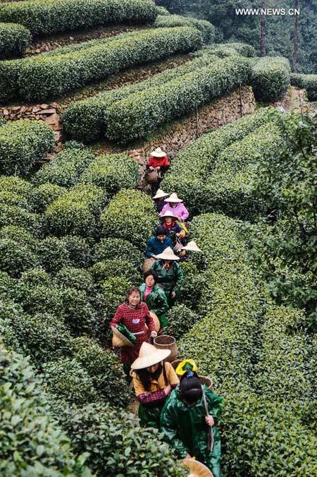 Tea garden in Hangzhou