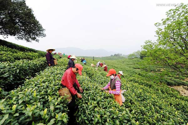 White tea enters tea picking season in east China