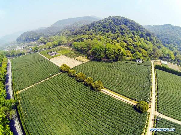 Rising temps boost output of Longjing Tea in Hangzhou