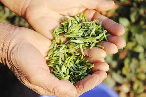 Mingqian tea in north China