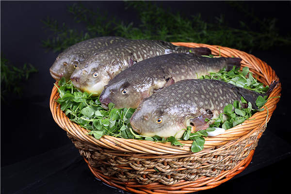 China OKs puffer fish encore on restaurant tables[1]- Chinadaily com cn