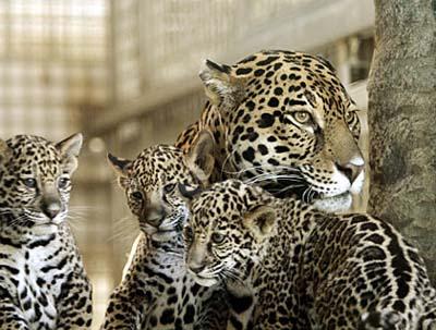 资料图片:美洲虎及幼虎