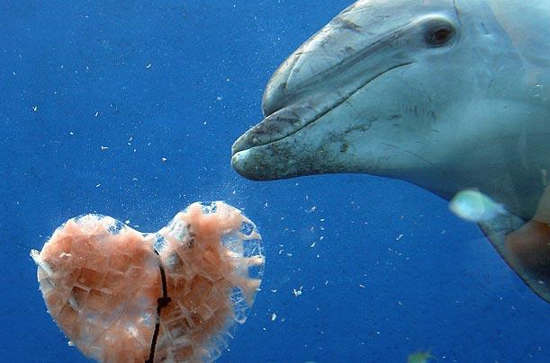 ·宽吻海豚 宽吻海豚恐怕是地球上最有名的两性动物(bisexual