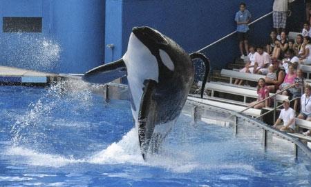 关于虎鲸的图片_俄罗斯海域首次发现成年雄性白虎鲸俄罗斯成