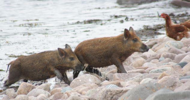 意宠物猪爱吃甜食重达90公斤 英猪宝贝游泳回家够聪明