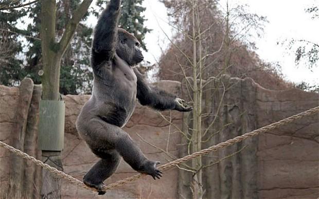 德国大猩猩无畏走钢索 用杂技解乡愁练就绝活
