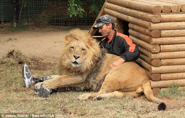 邦内迪格乖乖地趴在赖因克的腿上 在一般人的眼里,狮子和老虎都是不可接近的凶猛野兽,而美国一名截肢男子的经历或许会让我们明白,人不仅能与猛兽为友,还能从它们身上找回生活的勇气。据英国《每日邮报》5月23日报道,现年43岁的美国人约翰赖因克不仅与狮子、老虎朝夕相处,还从这两个大家伙身上找回了人生的乐趣,并重拾自信。 赖因克过去是一名涡轮机工程师,天生喜好亲近自然。然而,他在1994年4月一次蹦极中摔断了双腿。回忆起那段不堪回首的往事,赖因克表示:我的臀部、背部和脚都骨折了,内脏也受了伤。我被送往医院后昏迷