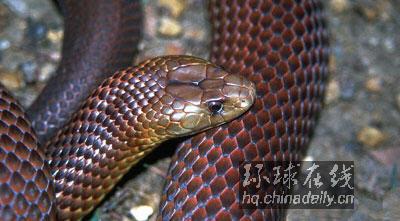 澳洲十大毒蛇排名