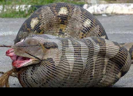 但马来西亚有一条大蟒蛇竟然吞下了一头怀孕的母羊!