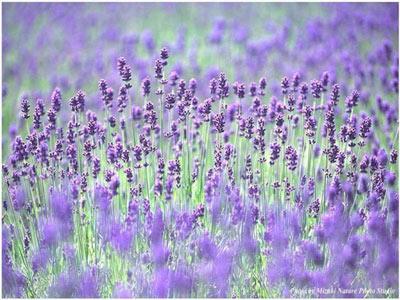 普罗旺斯的熏衣草