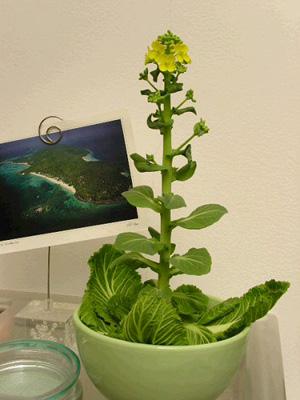 盆栽蔬菜 美室美食