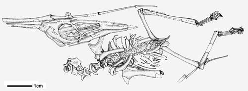 森林翼龙化石素描图