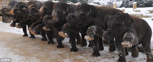 """德国动物园设立重量级""""孕妇""""班 待产大象排队做操"""