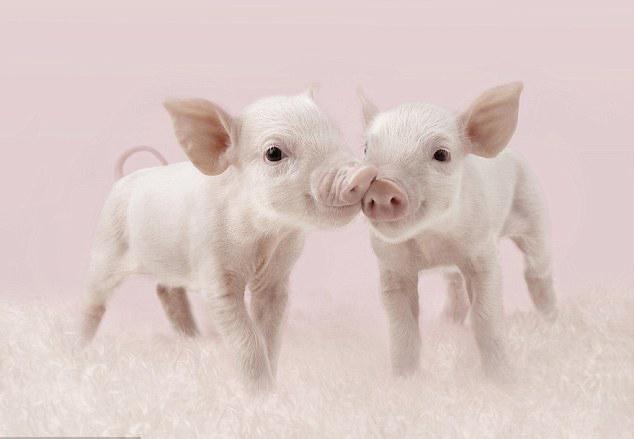 两只小猪争夺最佳拍摄位置