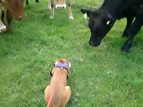 温馨牛群大胆与视频打招呼跨界铅笔好奇友情视频制作小狗图片
