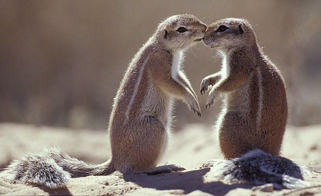 爱之花环下的小猪  天鹅之爱心  晒太阳的鸬鹚夫妇  甜蜜的河马  互相爱抚的长颈鹿  情话绵绵的蝾螈  恩爱的帝企鹅  互相依偎的鹦鹉  吻不够的南非地松鼠  洗鸳鸯浴的海狮 谁说动物没有真爱?为了传递无法阻挡的绵绵爱意,它们会偎依在一起,彼此爱抚,或者干脆来个长吻。动物之爱不仅纯粹浪漫,更能温暖人心。为了迎接情人节,英国媒体2月13日特别刊登了一组主题为爱情之于小动物的图片集锦。看过这些照片,相信你我都会被它们之间的浓情蜜意打动! (来源:中国日报网梁杉编辑:刘纯萍)