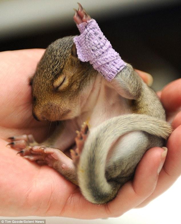 出生不久小松鼠摔伤胳膊 缠紫色绷带 萌 翻众人